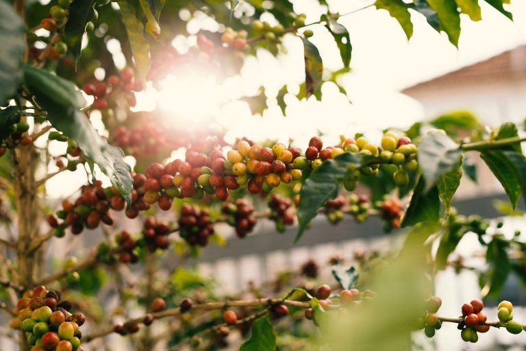 red-and-yellow-coffee-berries-on-branch-cropped
